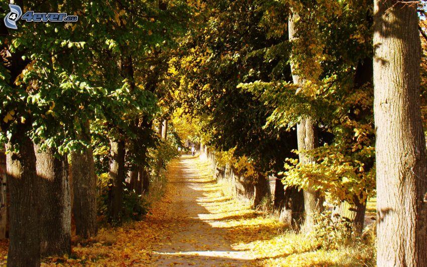 skogsstig, höstträd, gula löv