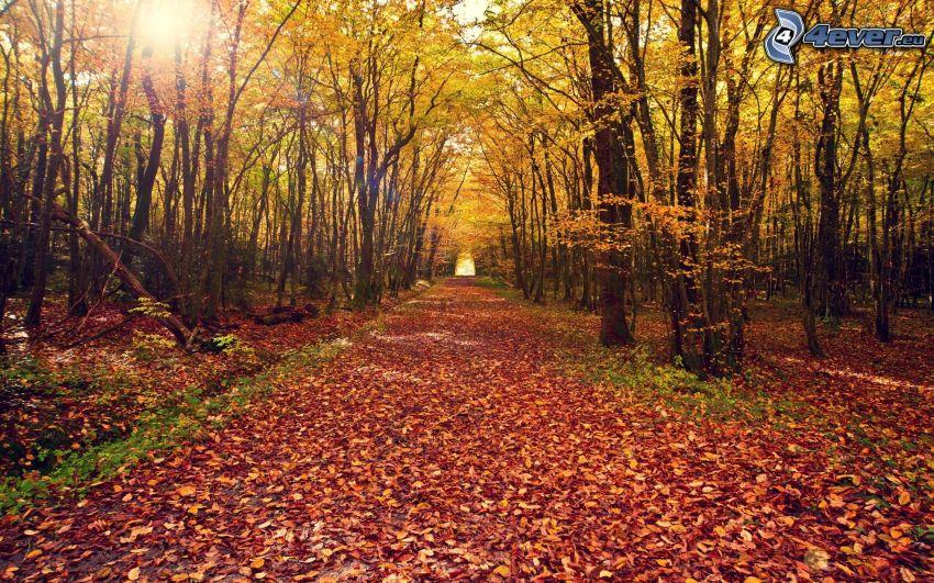 skogsväg, gul höstskog, torra löv