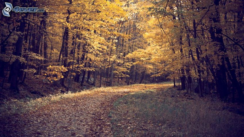 skogsväg, gul höstskog