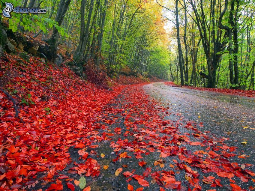 skogsväg, höstlöv, skog, träd