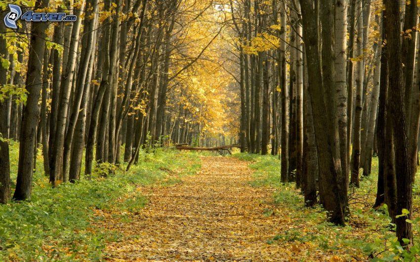 skogsväg, höstskog
