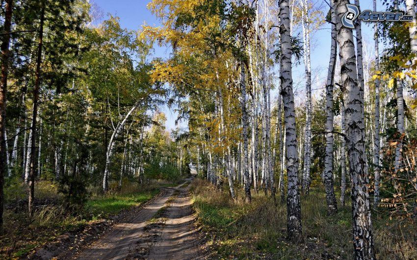 skogsväg, höstträd, björkar