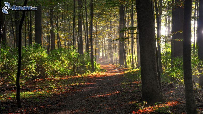 skogsväg, skog