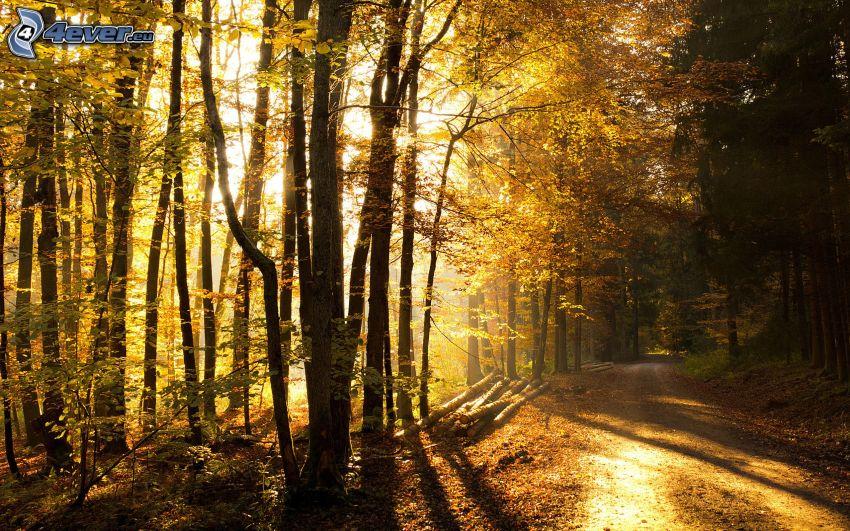 skogsväg, solnedgång i skogen