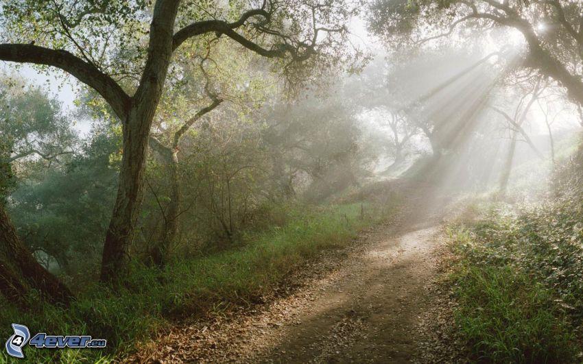 skogsväg, solstrålar, träd