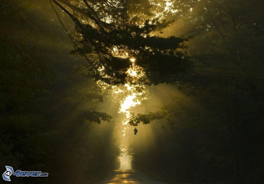 skogsväg, solstrålar