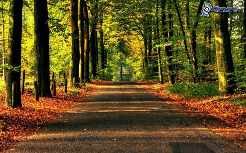 skogsväg, torra löv, träd, höst