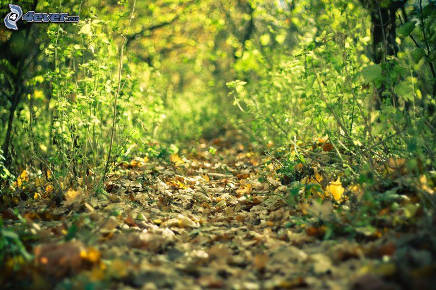 skogsväg, torra löv
