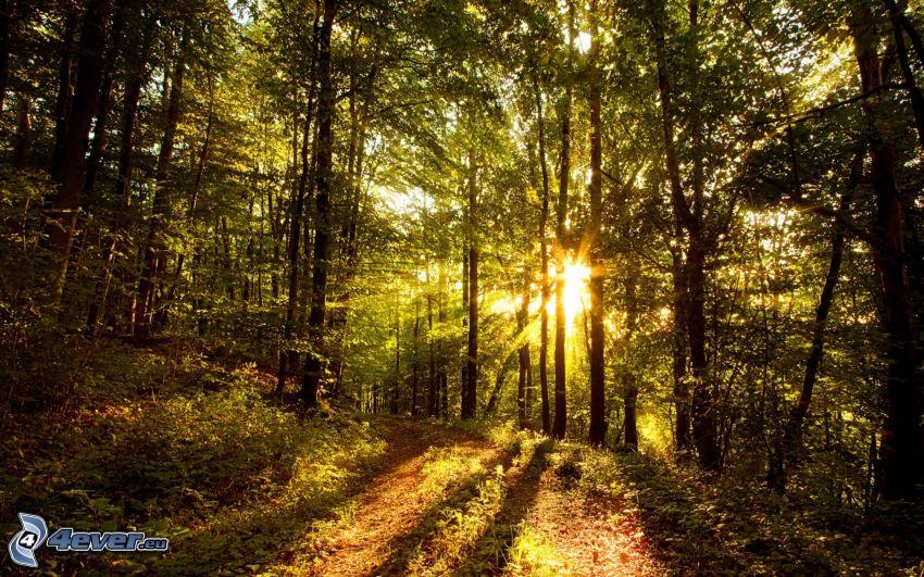skogsväg, träd, skog, solstrålar