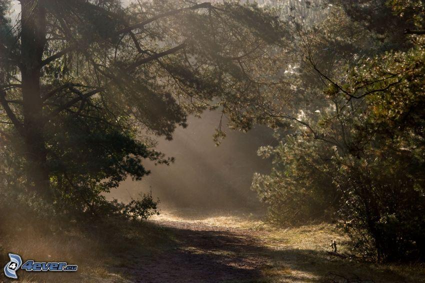 skogsväg, träd, solstrålar