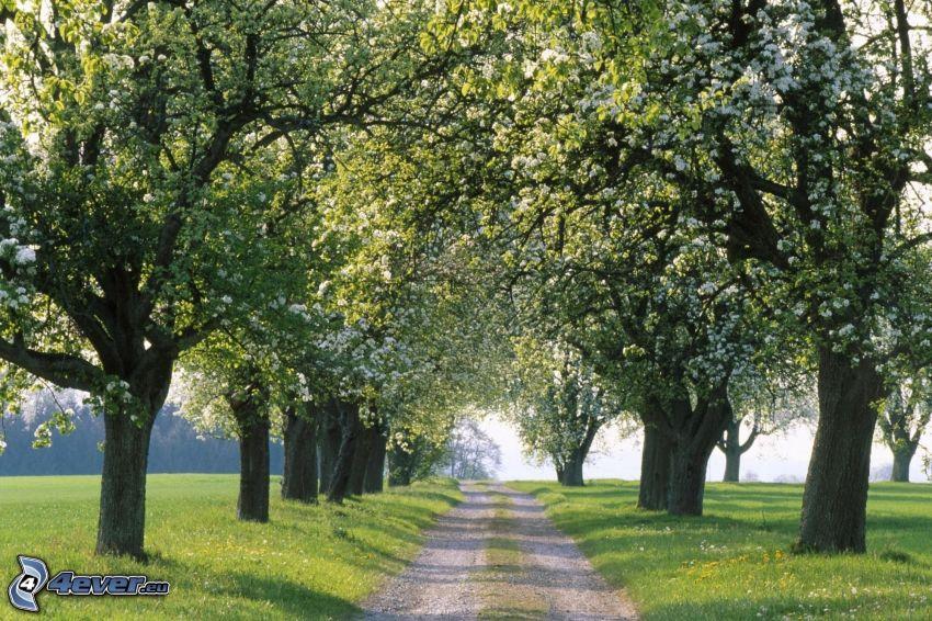 skogsväg, trädgränd, blommande träd