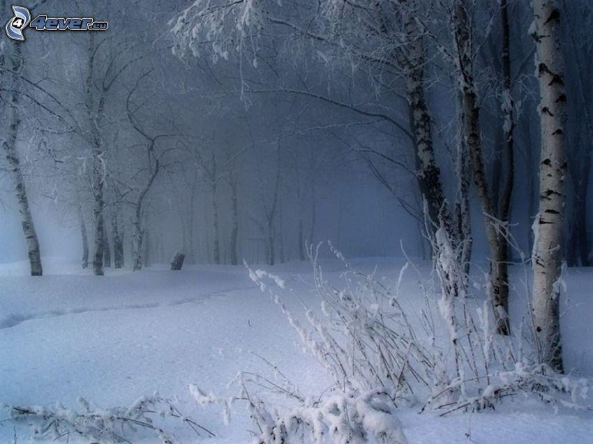 snöig skog, björkskog, spår i snön