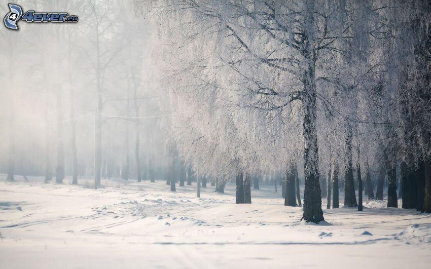 snöig skog, dimma