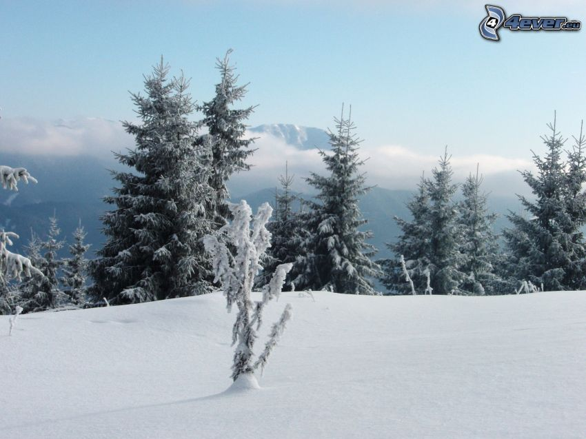 snöig skog, frysta träd, dimma, barrskog