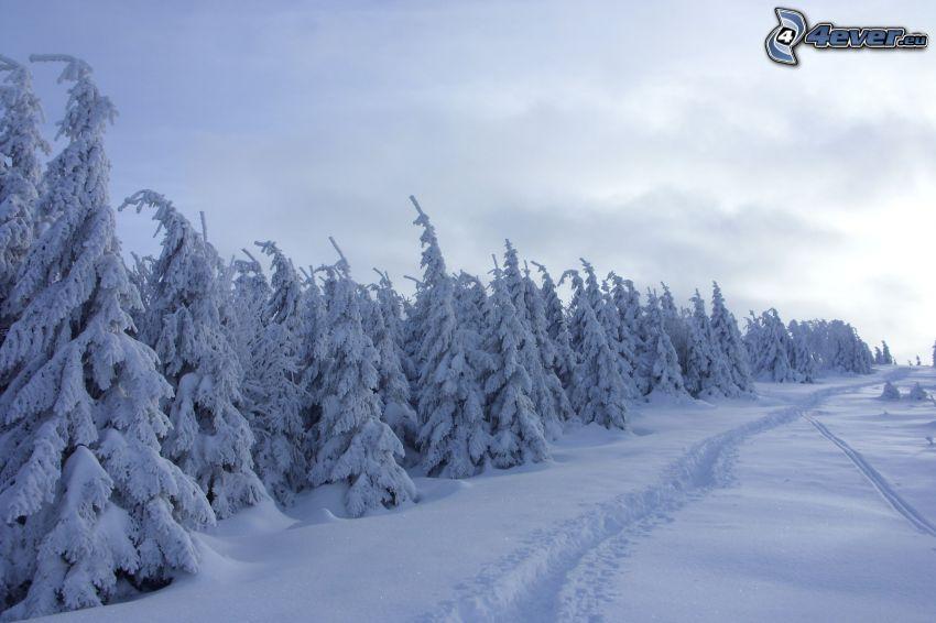snöig skog, snöklädda träd, väg
