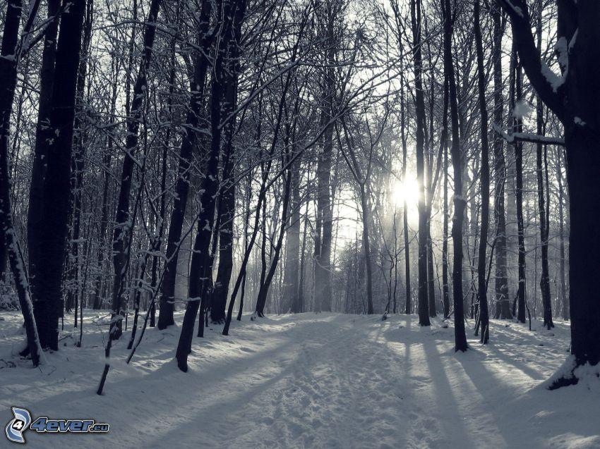 snöig skog, sol