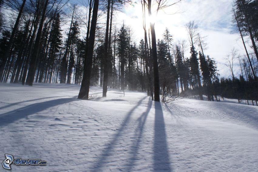 snöig skog, solstrålar