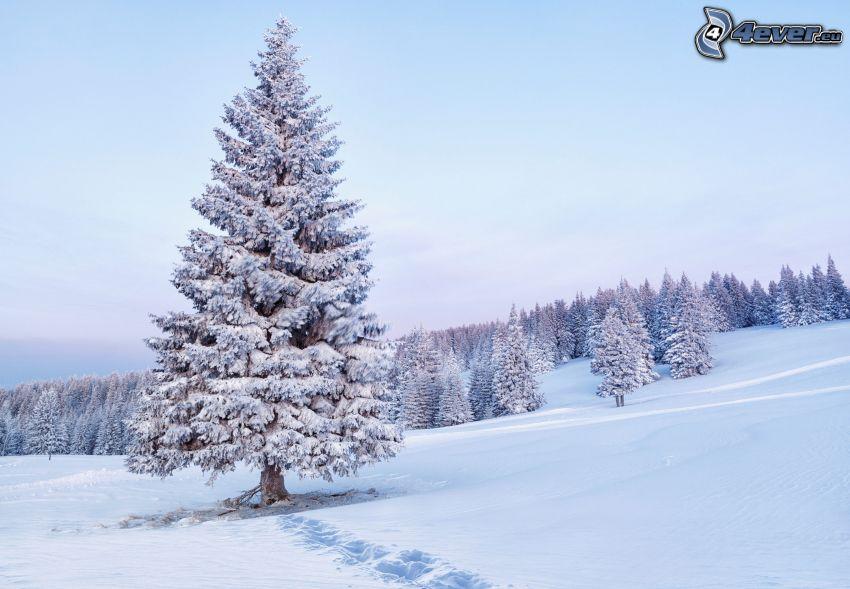 snöigt barrträd, snötäckt barrskog