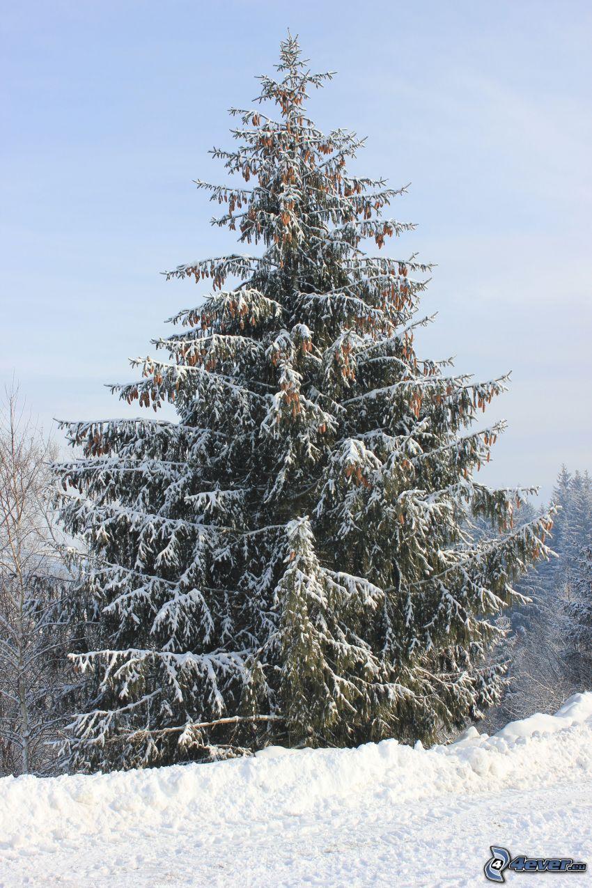 snöigt barrträd