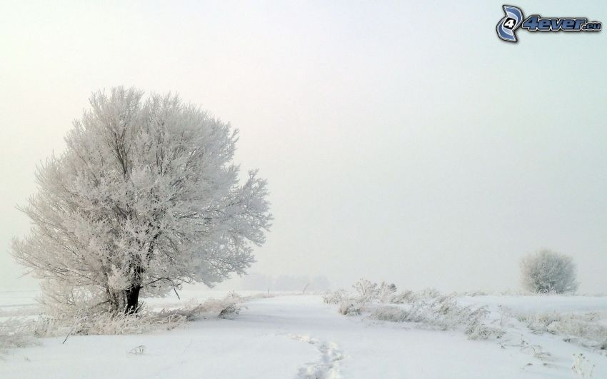 snöigt landskap, snöigt träd