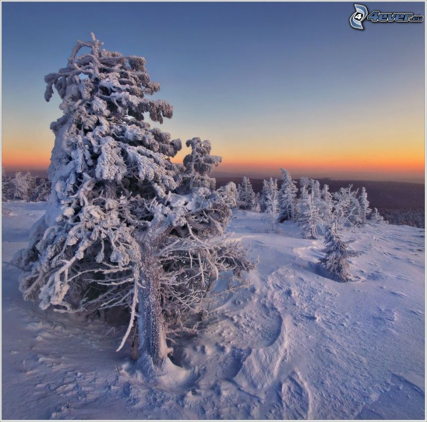 snöigt träd, efter solnedgången