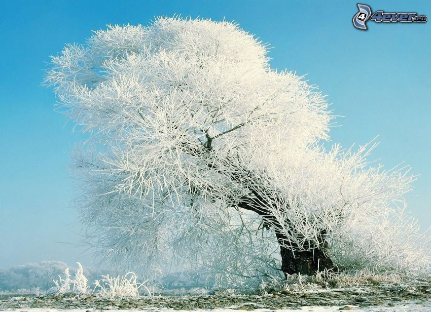 snöigt träd, frost
