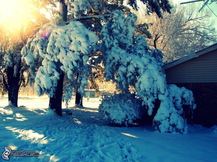 snöigt träd, snö, sol