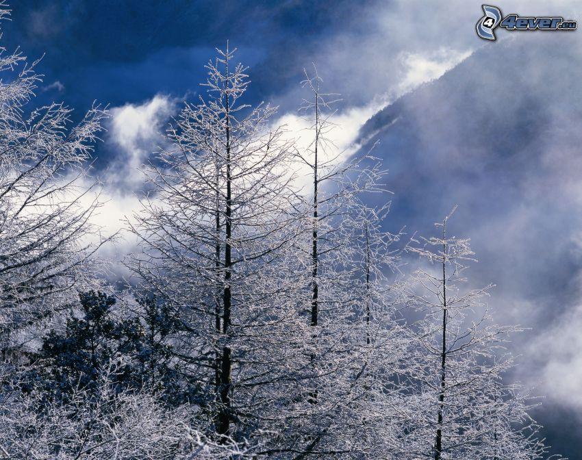 snöklädda träd, dimma