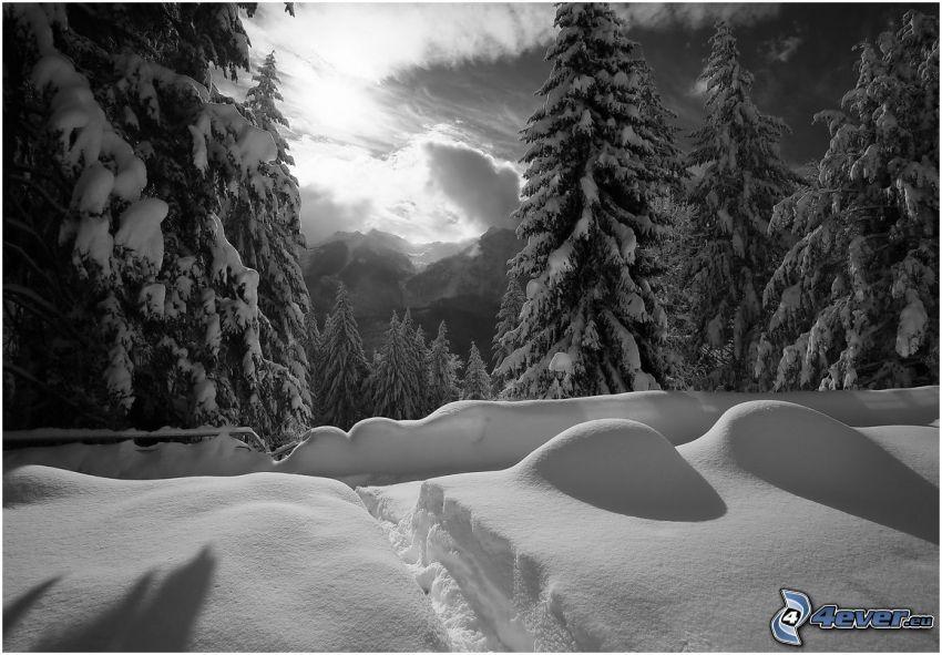 snöklädda träd, snö