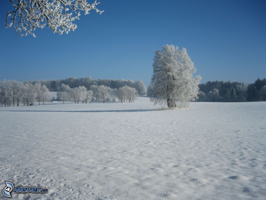 snöklädda träd, snöig äng