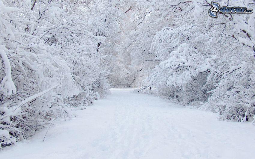 snöklädda träd, snöig väg
