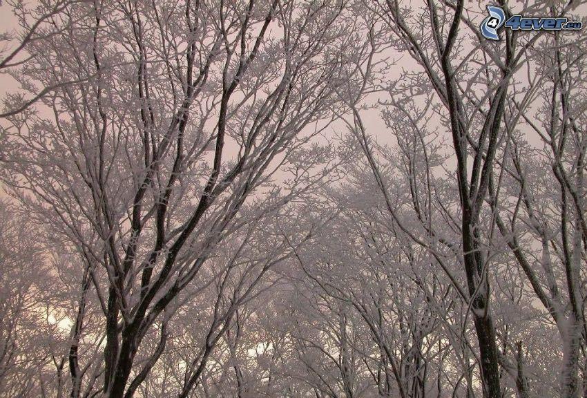 snöklädda träd