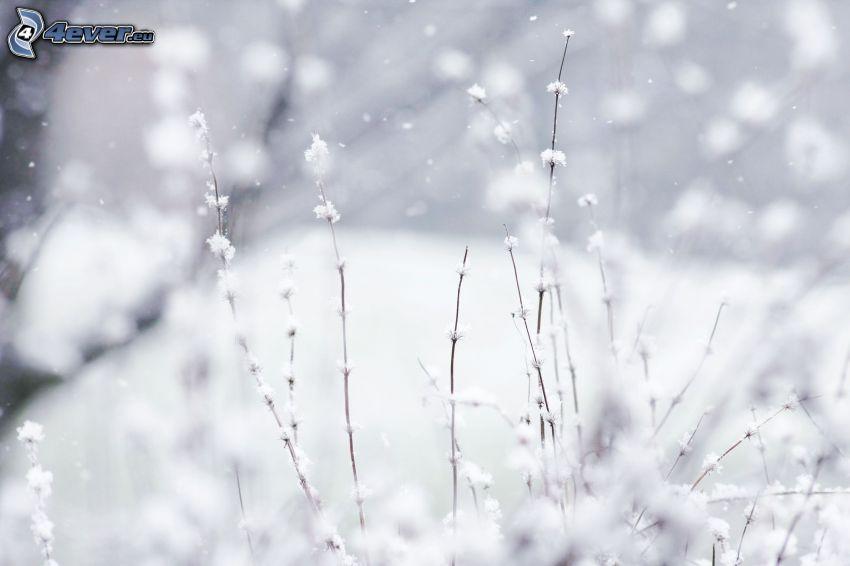 snötäckta grenar