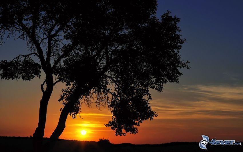 solnedgång, siluetter av träd, ensamma träd