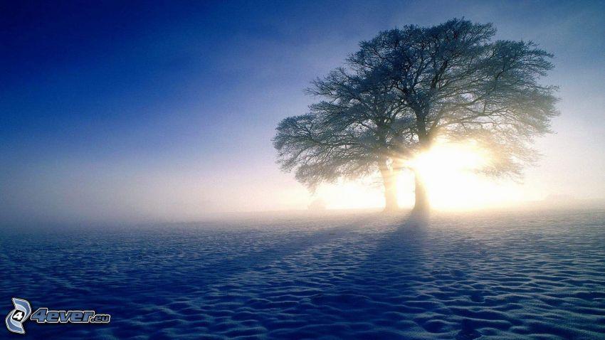 solnedgång, snöklädda träd, snö