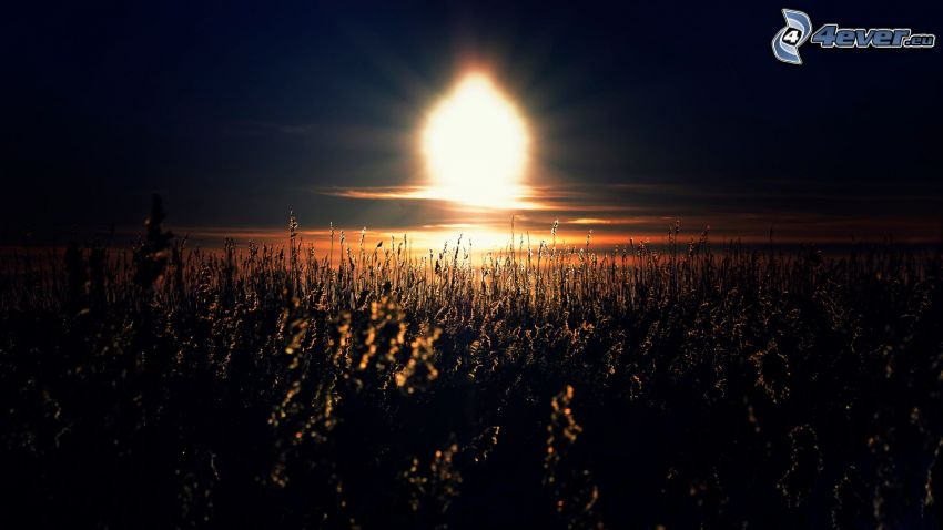 solnedgång, växter, siluetter
