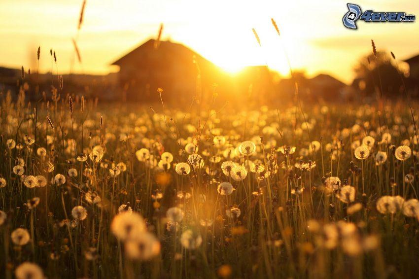 solnedgång bakom fält, hus, avblommad maskros