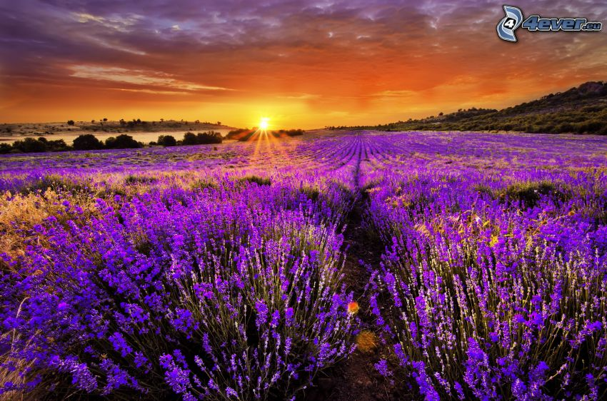 solnedgång bakom fält, lavendelfält