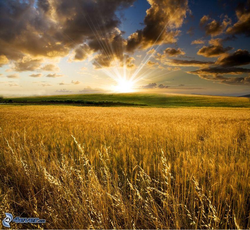 solnedgång bakom fält, solstrålar, moget vetefält, mörka moln