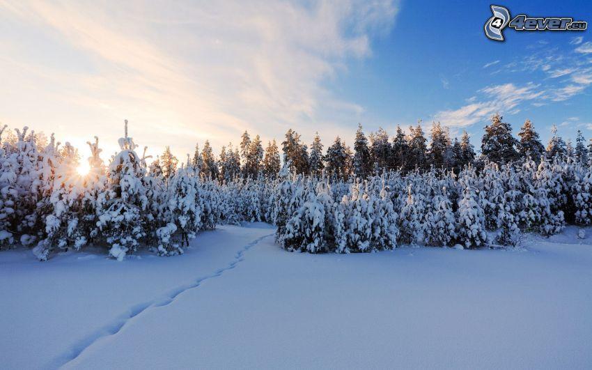solnedgång bakom skogen, snöig skog, spår i snön