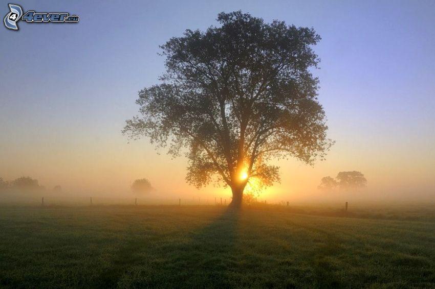 solnedgång bakom träd, ensamt träd, träd över fält, markdimma