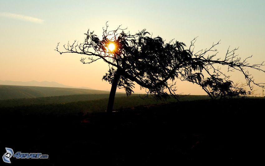 solnedgång bakom träd, fält, siluett av ett träd, torrt träd