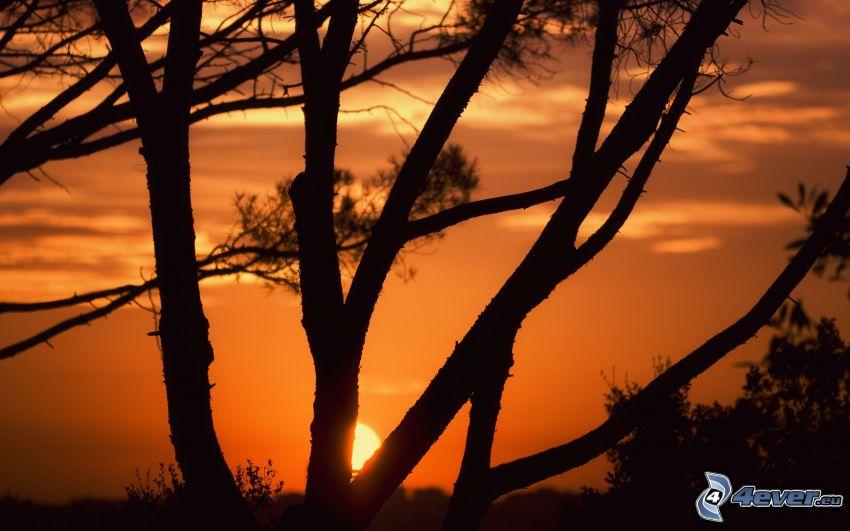 solnedgång bakom träd, siluett av ett träd, orange himmel