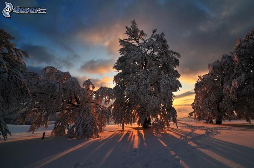 solnedgång bakom träd, vinter, snö