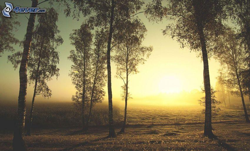 solnedgång i skogen, björkar, svag sol