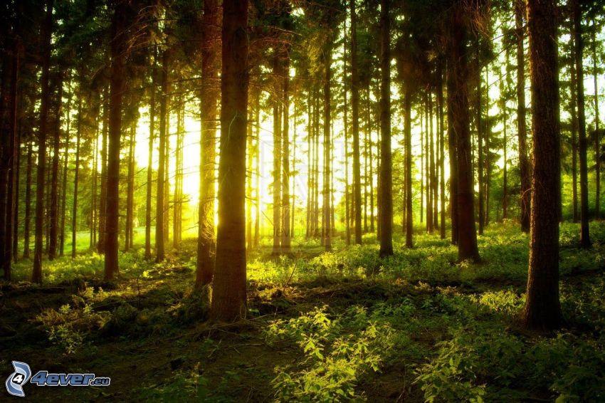 solnedgång i skogen, grönska