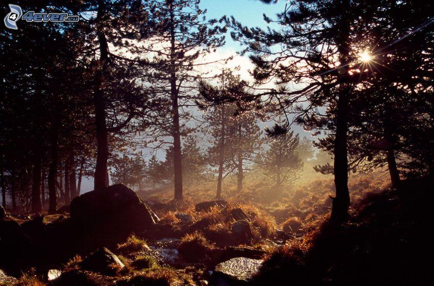 solnedgång i skogen, siluetter av träd, stig