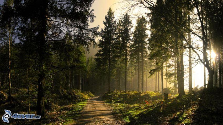 solnedgång i skogen, skogsväg