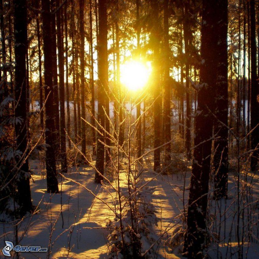 solnedgång i skogen, snö