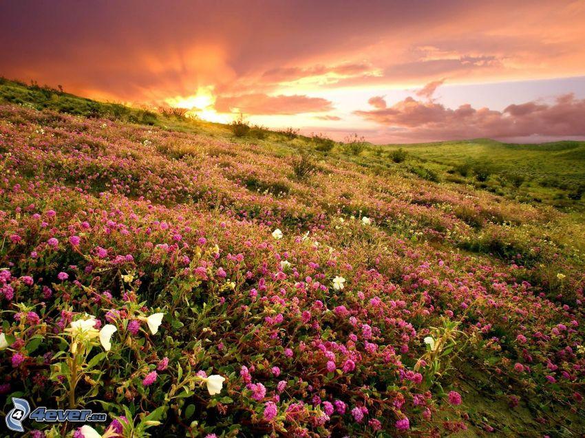 solnedgång över äng, blommor